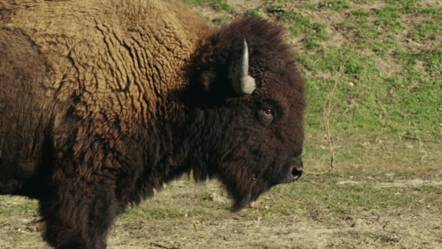 large american bison or buffalo walks profile to camera. - american bison stock videos & royalty-free footage