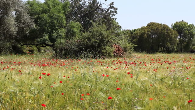 Large Amount Of Red Poppies In Green Barley Field