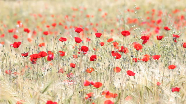Large Amount Of Red Poppies In Yellow Barley Field