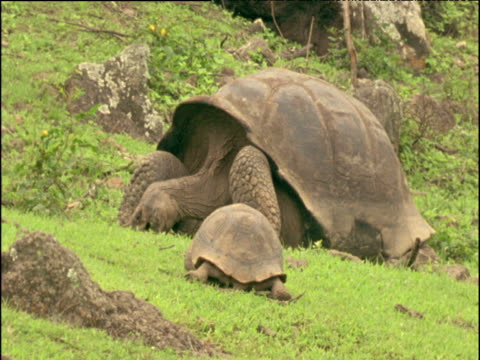 Large and small giant tortoises graze, Galapagos Islands