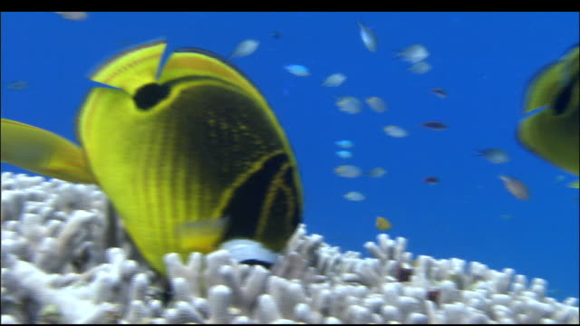 large angel fish feed on coral in brilliant blue sea, kerama islands, okinawa - multi coloured stock videos & royalty-free footage