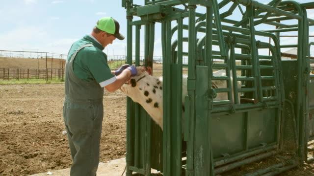 Large Animal Livestock Veterinarian