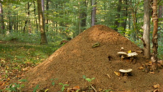 hd dolly: large ant hill - colony stock videos & royalty-free footage
