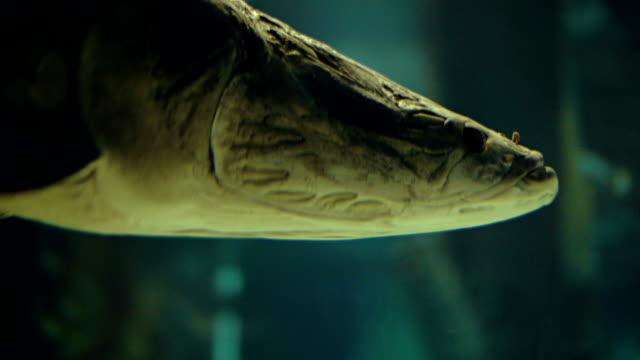 Large Arapaima under water