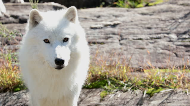 large arctic wolf looking after rivals and danger in the forest - white hair stock videos & royalty-free footage