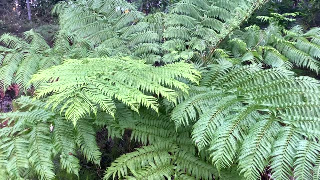 large australian tree fern in rainforest - dicksonia antarctica stock videos & royalty-free footage