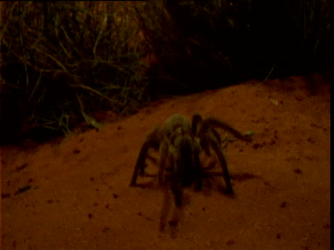 large barking spider approaches camera over desert sands, northern territory, australia - toxic substance stock videos & royalty-free footage