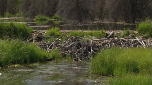 ws tu td large beaver dam built of sticks and logs on small stream in grand teton national park / wyoming, usa - beaver dam stock videos and b-roll footage