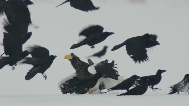 large billed crows (corvus macrorhynchos) take off as juvenile steller's sea eagle (haliaeetus pelagicus) tries to take carcass from adult. japan - 翼を広げる点の映像素材/bロール