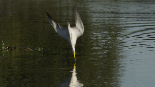 stockvideo's en b-roll-footage met large billed tern (phaetusa simplex) dives into pool and emerges with fish. - water bird