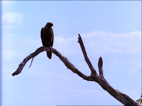 stockvideo's en b-roll-footage met a large bird, black kite, perches on a bare branch. - plantdeel