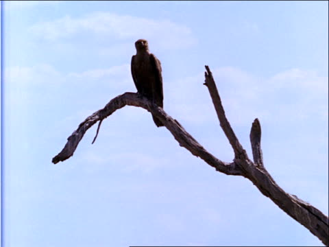 stockvideo's en b-roll-footage met a large bird perches on a bare branch. - plantdeel