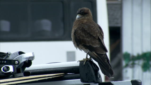 a large bird perches on a car roof rack. available in hd. - perching stock videos & royalty-free footage