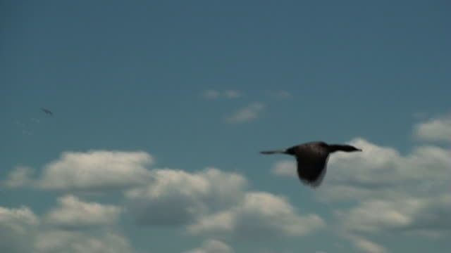 a large black bird flies across a cloudy blue sky. - gliedmaßen körperteile stock-videos und b-roll-filmmaterial