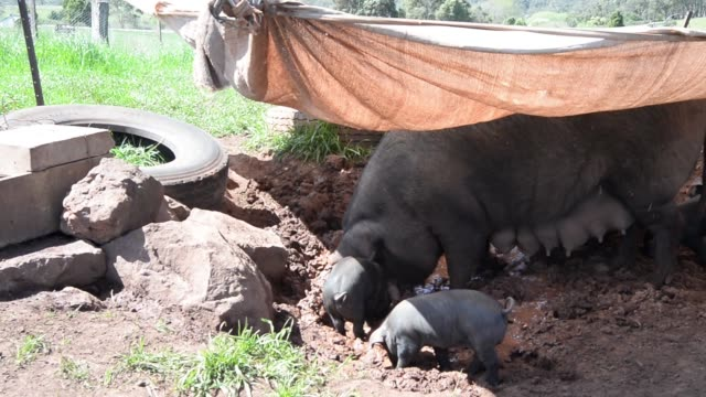 A Large Black heritage breed piglet suckles from a sow in a pasture Large Black heritage breed piglets gather around a sow under a tarp at...
