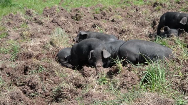 Large Black heritage breed sows eat grain from a trough Large Black heritage breed piglets gather in a pasture at independent free range Jonai Farms...