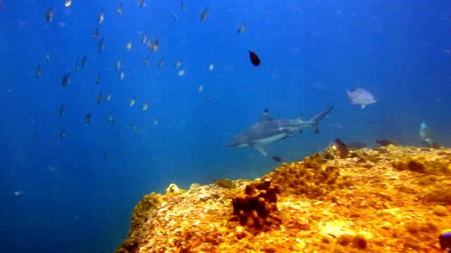 stockvideo's en b-roll-footage met grote zwarte tip rifhaai (carcharhinus melanopterus) zwemmen close-up op koraalrif, phi phi-eilanden, andaman zee, thailand. - rugvin