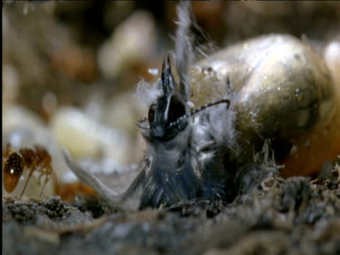 large blue butterfly emerges from chrysalis inside ant brood chamber poland - animale microscopico video stock e b–roll