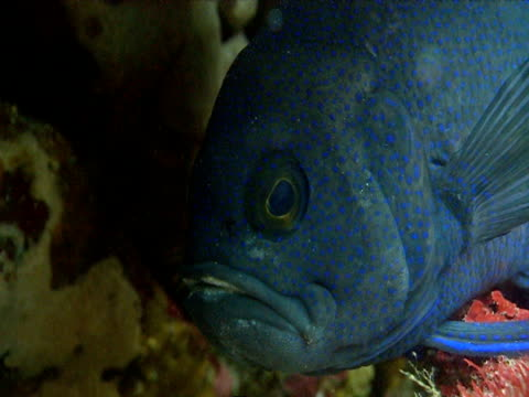 a large blue devilfish rests on the ocean floor. - gill stock videos & royalty-free footage