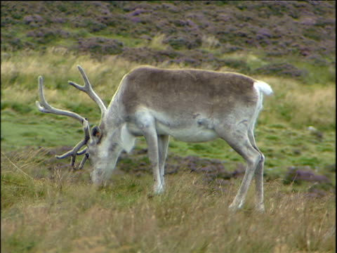 large brown and white reindeer with antlers eating grass on hill covered in purple heather. reindeer lifts head up and turns to stare at camera. scotland. - heather stock videos & royalty-free footage