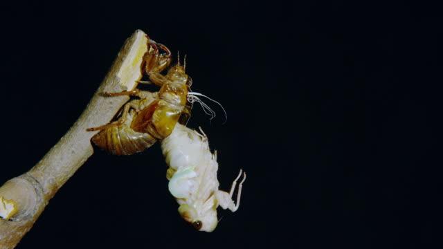 Large brown cicada emerging