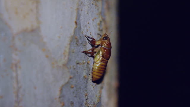 large brown cicada larva - zoology stock videos and b-roll footage