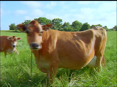 Large brown cow grazing in green field / other comes up + joins her in background / Faborg, Fyn, Denmark
