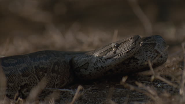 a large brown snake strikes. - alertness stock videos & royalty-free footage