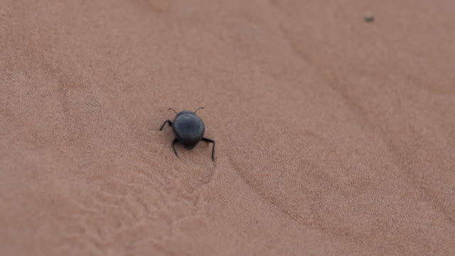 stockvideo's en b-roll-footage met large bug walking thru sand - wiese