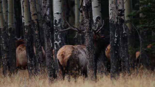 stockvideo's en b-roll-footage met ms large bull elk bugling during rut in aspen grove / estes park, colorado, united states - estes park