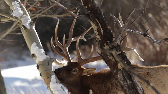 ms ts large bull elk (cervus canadensis) chewing on the bark of a young aspen tree - aspen tree stock videos & royalty-free footage