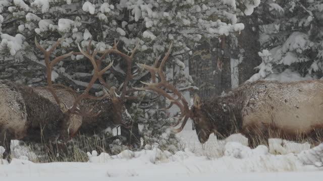 vidéos et rushes de ms ts 2 large bull elk (cervus canadensis) fighting at dusk during a snow storm - petit groupe d'animaux