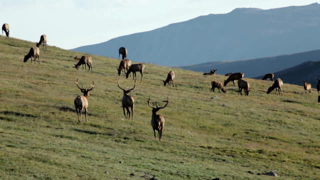 large bull elk herd grazes tundra rocky mountain national park - colorado stock videos & royalty-free footage