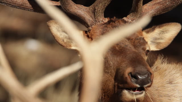 TS large bull elk (Cervus canadensis) looking through the antlers of another bull elk
