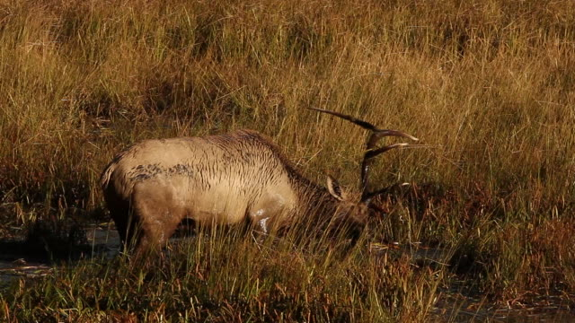 ms large bull elk (cervus canadensis) thrashing and bugling in a pond at sunrise - tire track stock videos & royalty-free footage