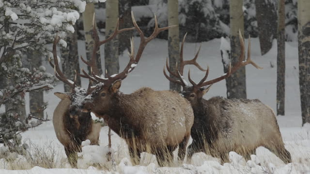 ms 4 large bull elk (cervus canadensis) walk toward the camera at dusk during a snow storm - 40 sekunden oder länger stock-videos und b-roll-filmmaterial