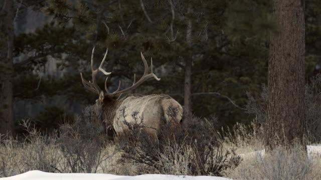 MS large bull elk (Cervus canadensis) walking into the forest at dusk