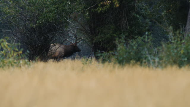 A large bull elk walks through the trees, bugling as he watches his females.
