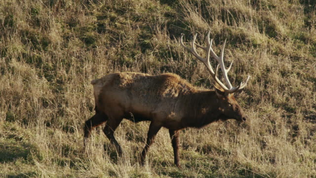 large bull elk with large antler rack walks through tall grass. - antler stock videos & royalty-free footage