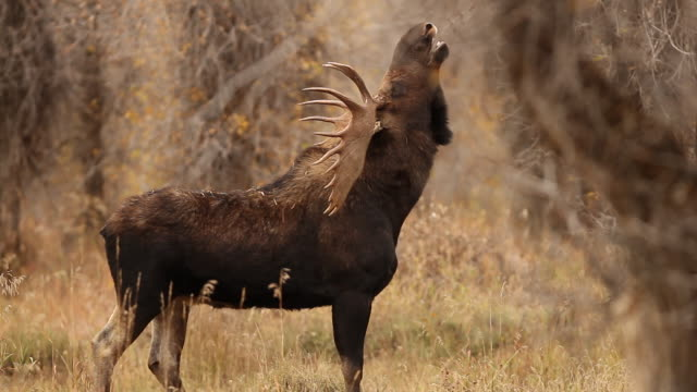vidéos et rushes de ms large bull moose (alces alces) sniffs the air for the scent of females, in fall foliage and morning fog - caribou