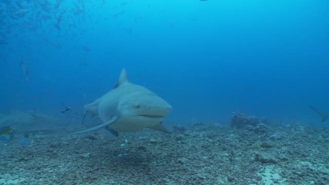 large bull sharks swimming on sea floor - hai stock-videos und b-roll-filmmaterial