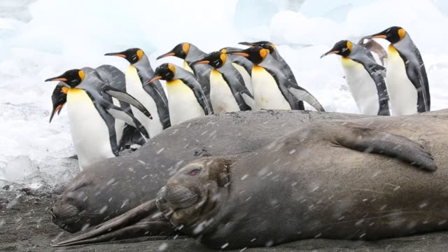 large bull southern elephant seal; mirounga leonina, at gold harbour, south georgia, antarctica, in a king penguin colony. - südlicher seeelefant stock-videos und b-roll-filmmaterial