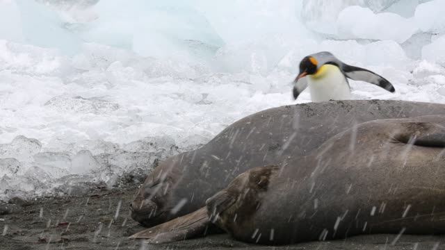 large bull southern elephant seal; mirounga leonina, at gold harbour, south georgia, antarctica, in a king penguin colony. - southern elephant seal stock videos & royalty-free footage