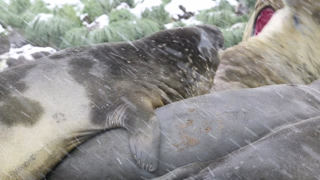 large bull southern elephant seal; mirounga leonina, at gold harbour, south georgia, antarctica, in a king penguin colony. - antarctic ocean stock videos and b-roll footage