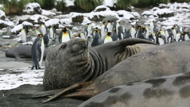 vídeos y material grabado en eventos de stock de large bull southern elephant seal; mirounga leonina, at gold harbour, south georgia, antarctica, in a king penguin colony. - georgia del sur