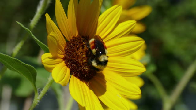 Large bumblebee walks pollinating sunflower Denver Colorado