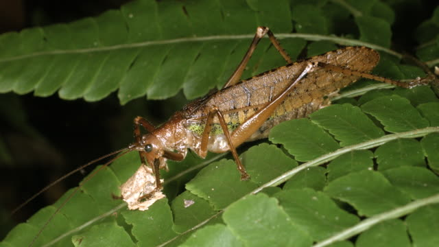 large bush cricket eating a piece of leaf in the rainforest understory, ecuador - cricket insect stock videos and b-roll footage