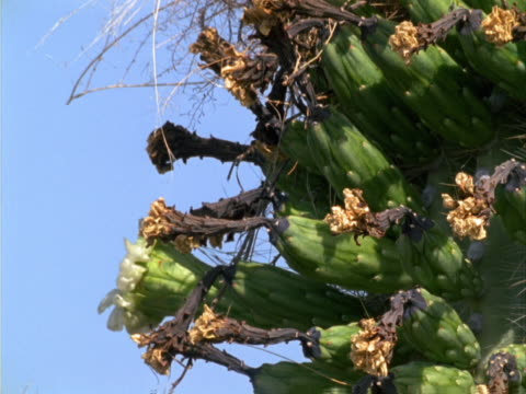 a large cactus with cactus wren - cactus wren stock videos & royalty-free footage
