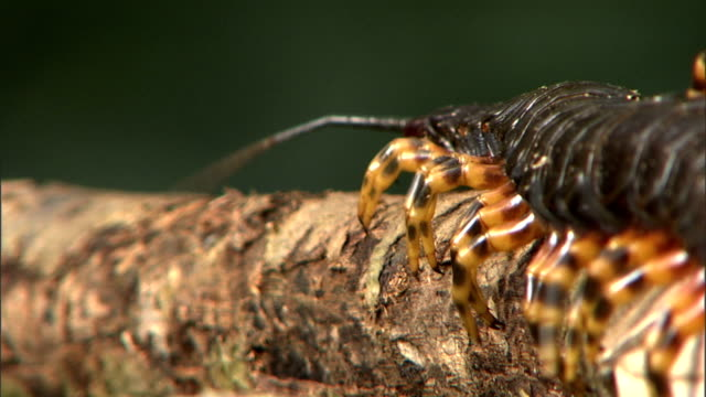 a large centipede moves it antennae as it crawls over a piece of wood. - hundertfüßer stock-videos und b-roll-filmmaterial