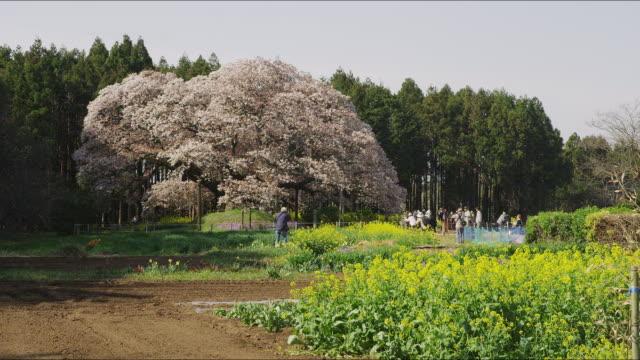 Large Cherry Tree of Yoshitaka